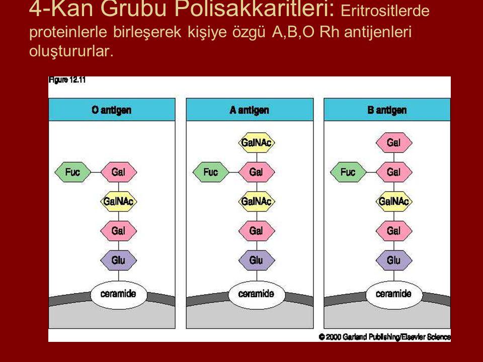 4-Kan Grubu Polisakkaritleri: Eritrositlerde proteinlerle birleşerek kişiye özgü A,B,O Rh antijenleri oluştururlar.
