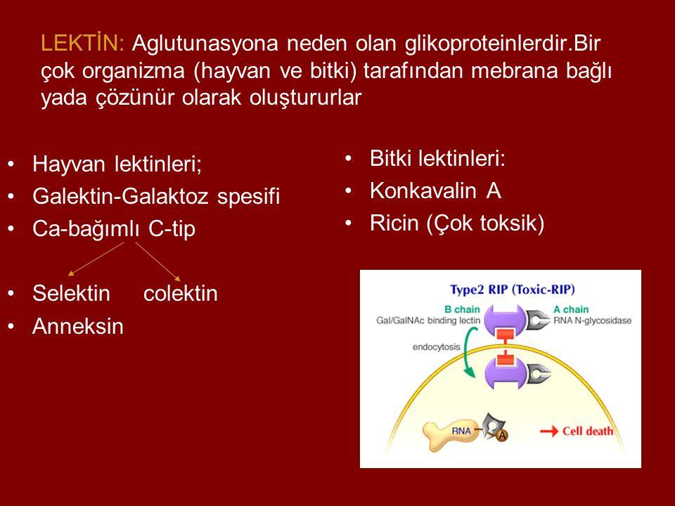 LEKTİN: Aglutunasyona neden olan glikoproteinlerdir.Bir çok organizma (hayvan ve bitki) tarafından mebrana bağlı yada çözünür olarak oluştururlar Hayv