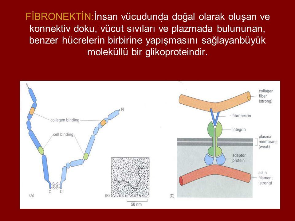 . ?? FİBRONEKTİN:İnsan vücudunda doğal olarak oluşan ve konnektiv doku, vücut sıvıları ve plazmada bulununan, benzer hücrelerin birbirine yapışmasını