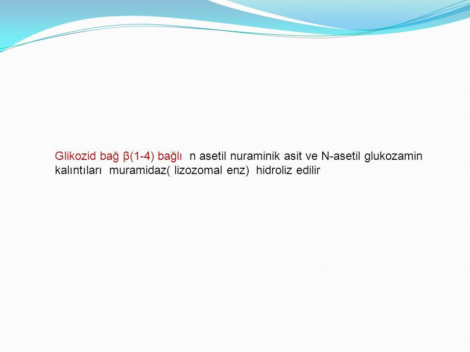 Glikozid bağ β(1-4) bağlı n asetil nuraminik asit ve N-asetil glukozamin kalıntıları muramidaz( lizozomal enz) hidroliz edilir