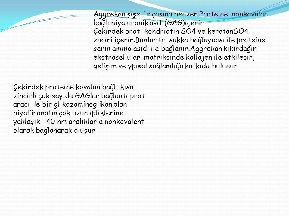 Aggrekan şişe fırçasına benzer.Proteine nonkovalan bağlı hiyaluronik asit (GAG)içerir Çekirdek prot kondriotin SO4 ve keratanSO4 znciri içerir.Bunlar