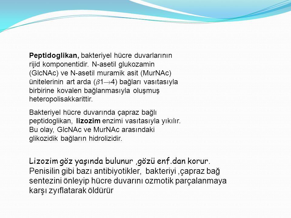Peptidoglikan, bakteriyel hücre duvarlarının rijid komponentidir. N-asetil glukozamin (GlcNAc) ve N-asetil muramik asit (MurNAc) ünitelerinin art arda