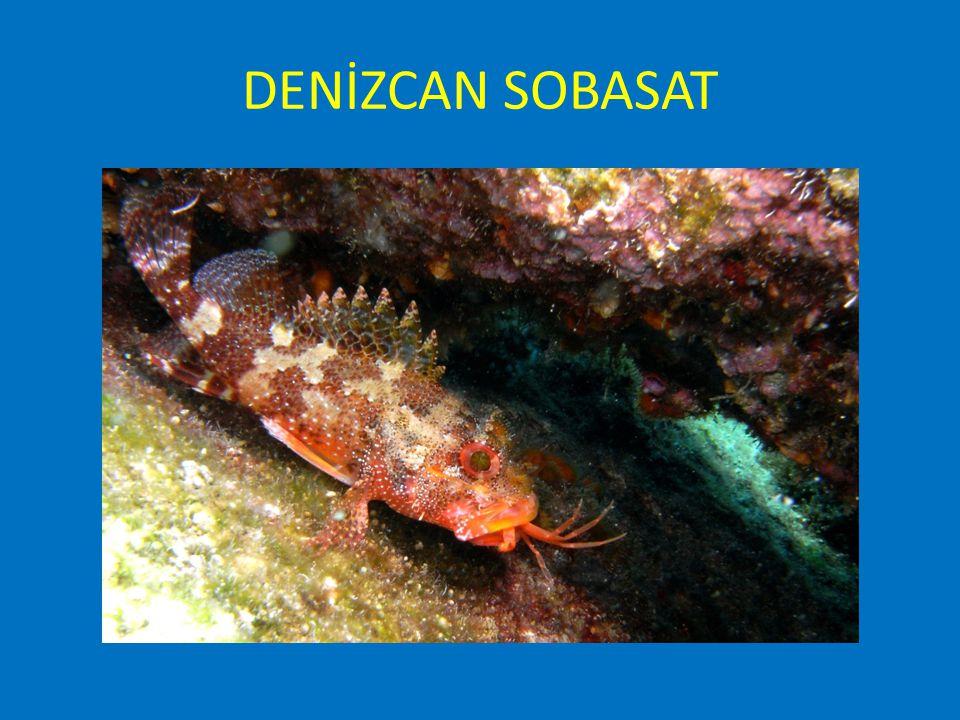 NURDOĞAN ÖZKAYA SUALTI DOĞA FOTOĞRAF YARIŞMASI – USTALAR KATEGORISI Nurdogan Özkaya Underwater Nature Photography Competition MASTERS SECTION