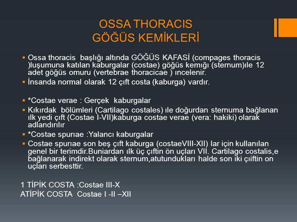 OSSA THORACIS GÖĞÜS KEMİKLERİ  Ossa thoracis başlığı altında GÖĞÜS KAFASİ (compages thoracis )luşumuna katılan kaburgalar (costae) göğüs kemığı (ster