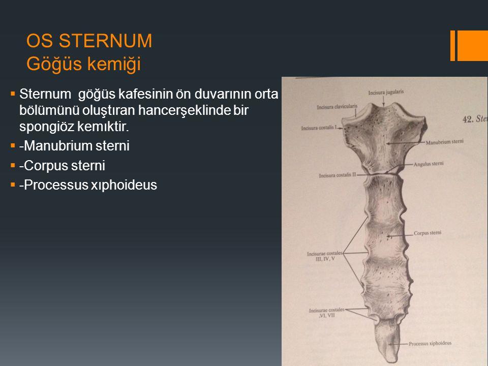 OS STERNUM Göğüs kemiği  Sternum göğüs kafesinin ön duvarının orta bölümünü oluştıran hancerşeklinde bir spongiöz kemıktir.  -Manubrium sterni  -Co