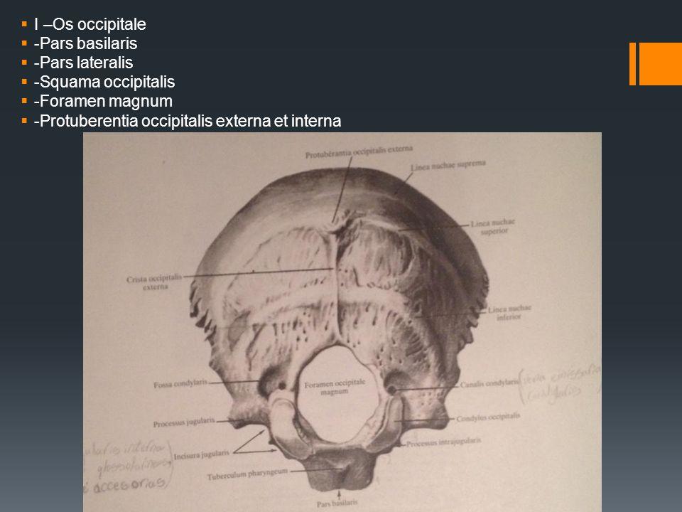  I –Os occipitale  -Pars basilaris  -Pars lateralis  -Squama occipitalis  -Foramen magnum  -Protuberentia occipitalis externa et interna