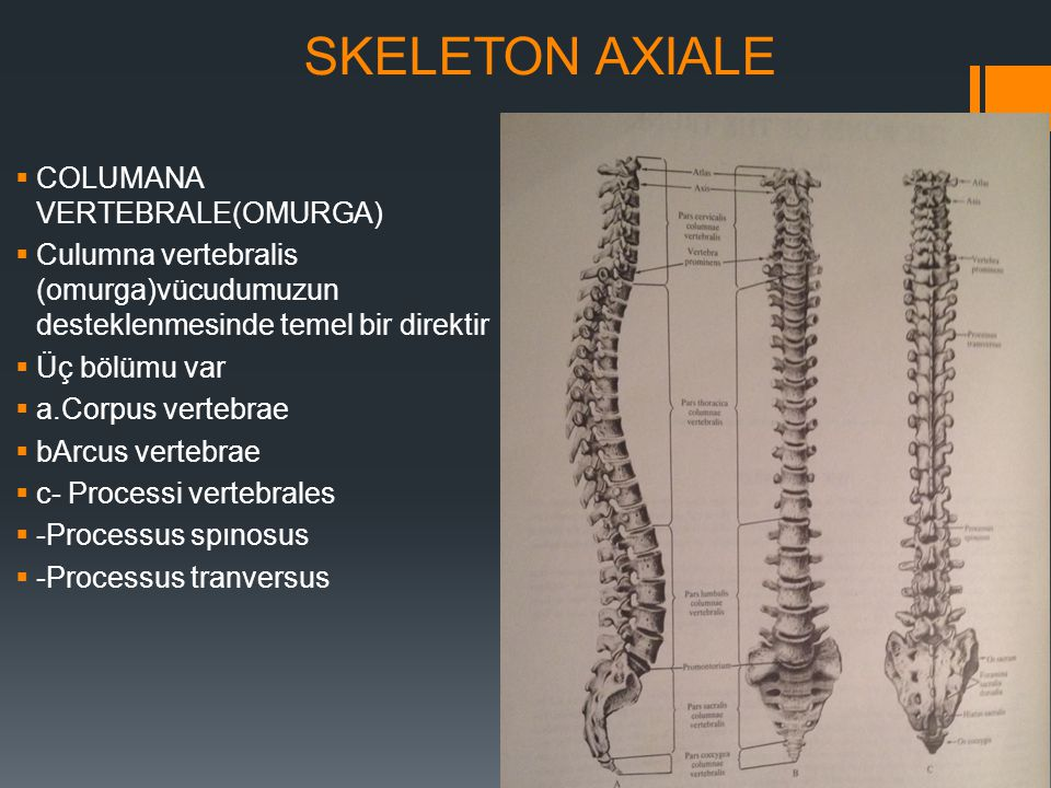 SKELETON AXIALE  COLUMANA VERTEBRALE(OMURGA)  Culumna vertebralis (omurga)vücudumuzun desteklenmesinde temel bir direktir  Üç bölümu var  a.Corpus