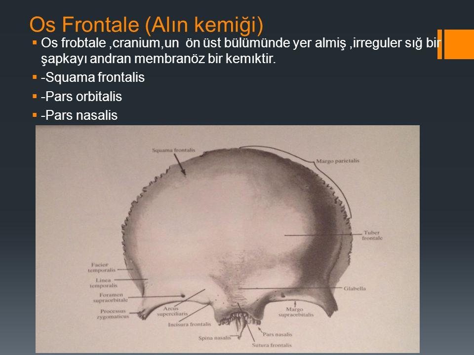 Os Frontale (Alın kemiği)  Os frobtale,cranium,un ön üst bülümünde yer almiş,irreguler sığ bir şapkayı andran membranöz bir kemıktir.  -Squama front