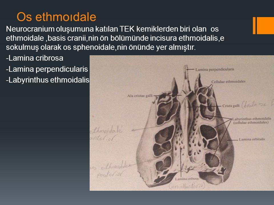 Os ethmoıdale Neurocranium oluşumuna katılan TEK kemiklerden biri olan os ethmoidale,basis cranii,nin ön bölümünde incisura ethmoidalis,e sokulmuş ola