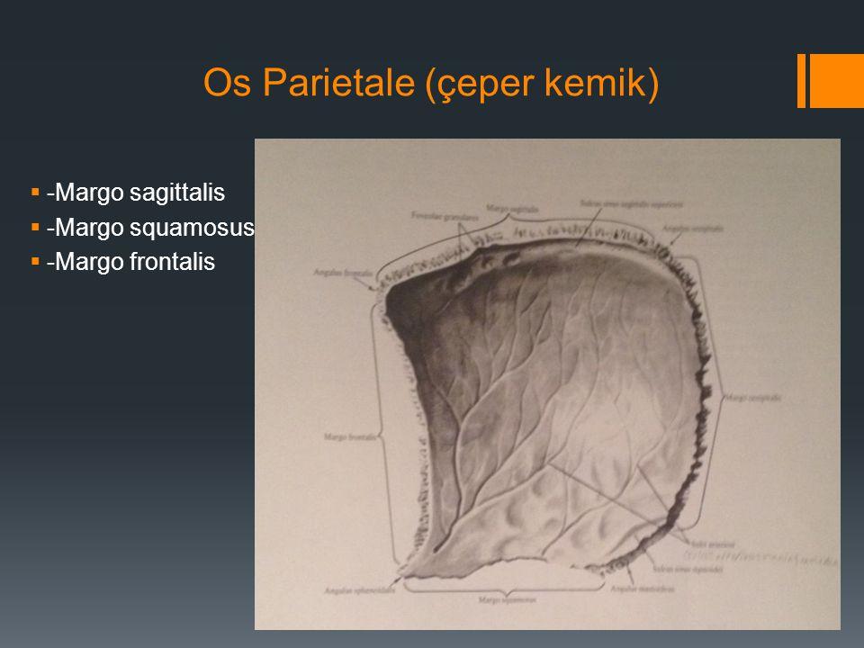 Os Parietale (çeper kemik)  -Margo sagittalis  -Margo squamosus  -Margo frontalis