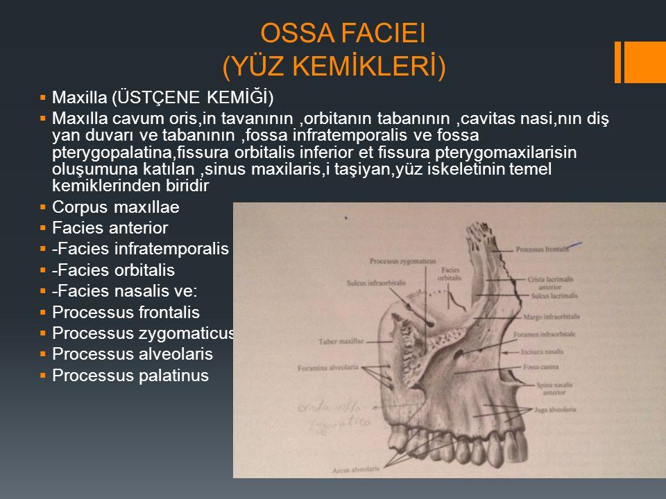 OSSA FACIEI (YÜZ KEMİKLERİ)  Maxilla (ÜSTÇENE KEMİĞİ)  Maxılla cavum oris,in tavanının,orbitanın tabanının,cavitas nasi,nın diş yan duvarı ve tabanı