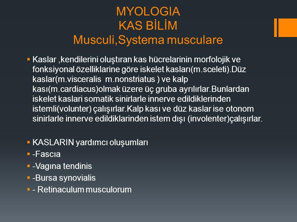 MYOLOGIA KAS BİLİM Musculi,Systema musculare  Kaslar,kendilerini oluştıran kas hücrelarinin morfolojik ve fonksiyonal özelliklarine göre iskelet kasl