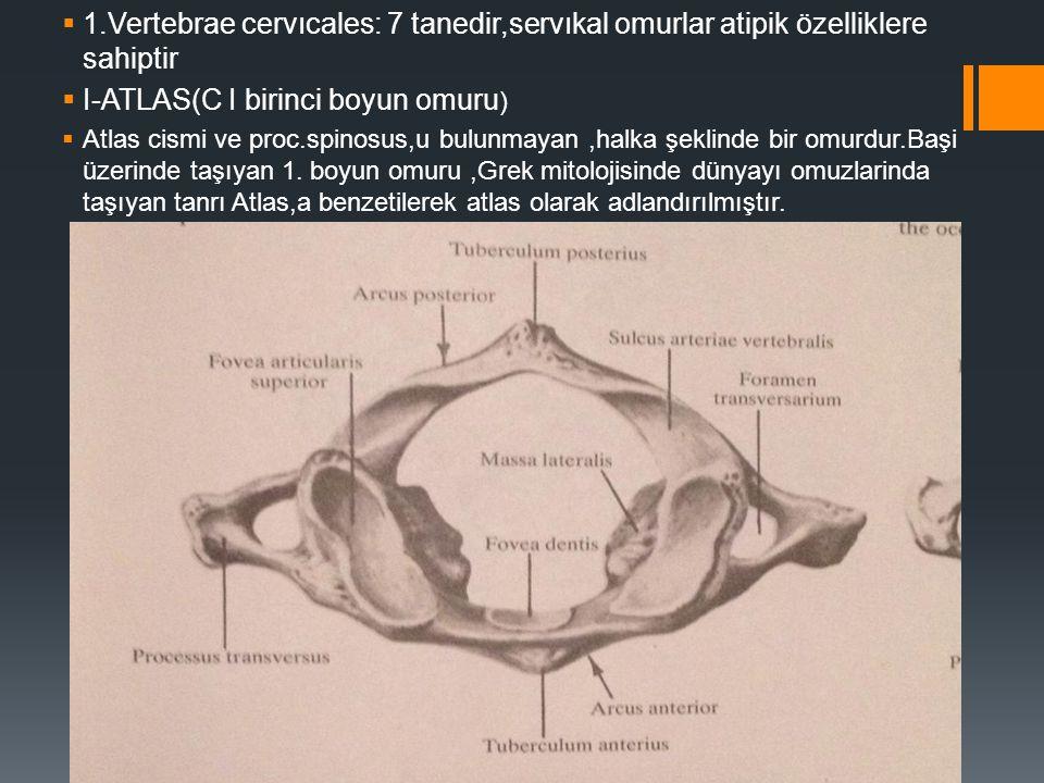  1.Vertebrae cervıcales: 7 tanedir,servıkal omurlar atipik özelliklere sahiptir  I-ATLAS(C I birinci boyun omuru )  Atlas cismi ve proc.spinosus,u