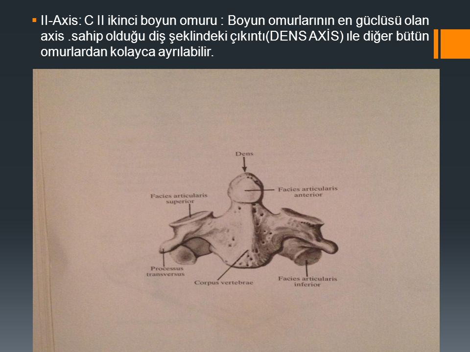 II-Axis: C II ikinci boyun omuru : Boyun omurlarının en güclüsü olan axis.sahip olduğu diş şeklindeki çıkıntı(DENS AXİS) ıle diğer bütün omurlardan
