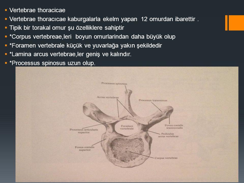  Vertebrae thoracicae  Vertebrae thoracıcae kaburgalarla ekelm yapan 12 omurdan ibarettir.  Tipik bir torakal omur şu özelliklere sahiptir  *Corpu