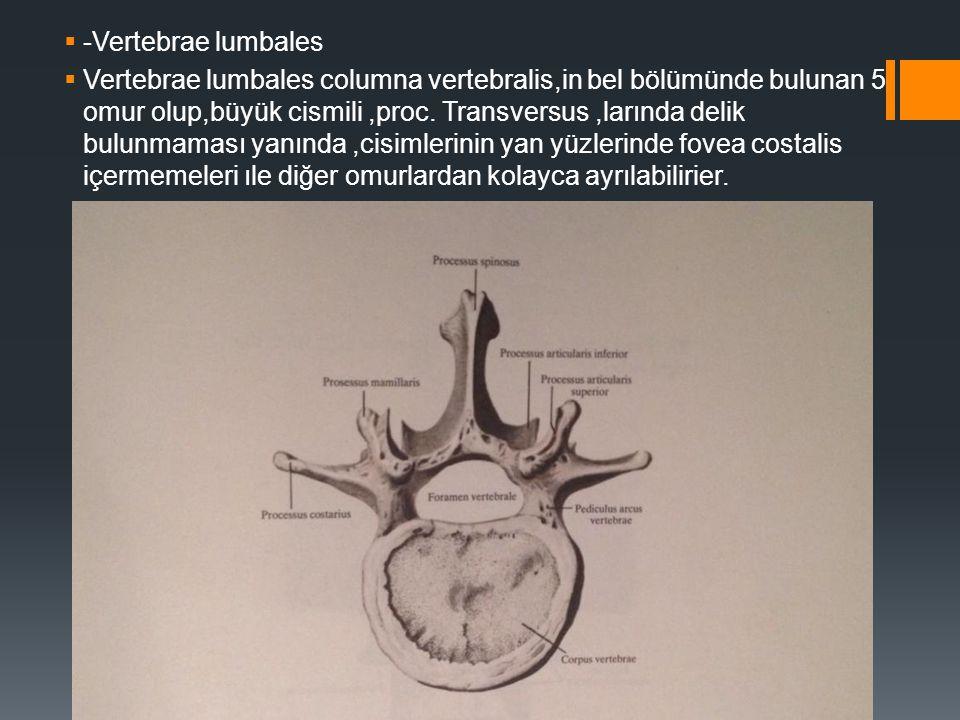  -Vertebrae lumbales  Vertebrae lumbales columna vertebralis,in bel bölümünde bulunan 5 omur olup,büyük cismili,proc. Transversus,larında delik bulu