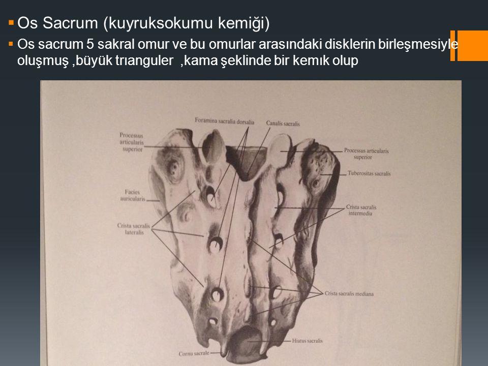  Os Sacrum (kuyruksokumu kemiği)  Os sacrum 5 sakral omur ve bu omurlar arasındaki disklerin birleşmesiyle oluşmuş,büyük trıanguler,kama şeklinde bi