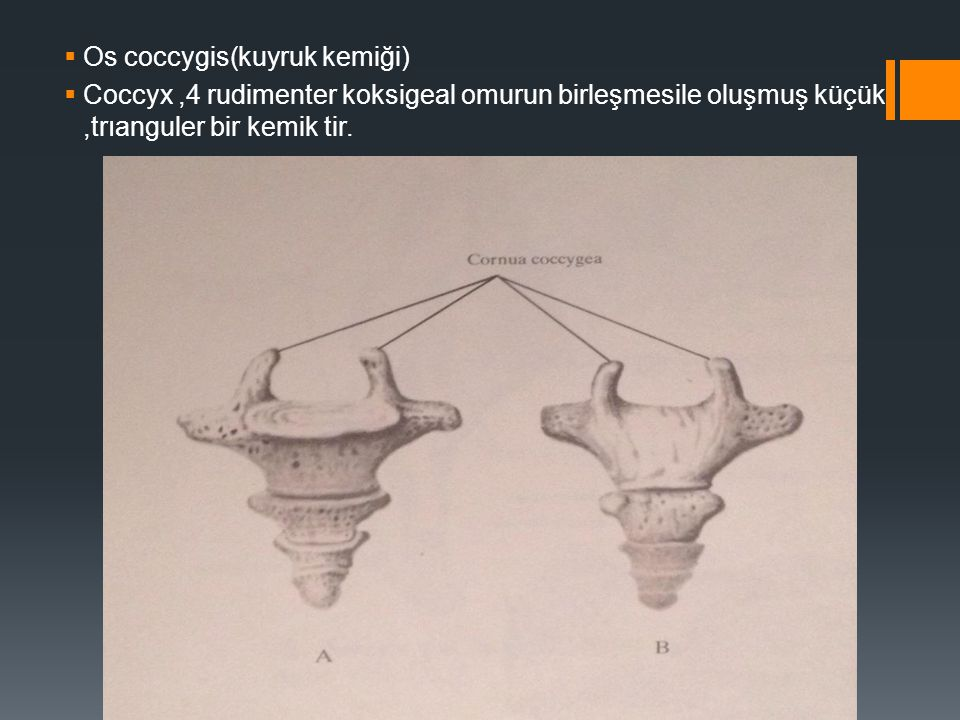 OSSA THORACIS GÖĞÜS KEMİKLERİ  Ossa thoracis başlığı altında GÖĞÜS KAFASİ (compages thoracis )luşumuna katılan kaburgalar (costae) göğüs kemığı (sternum)ıle 12 adet göğüs omuru (vertebrae thoracicae ) ıncelenir.