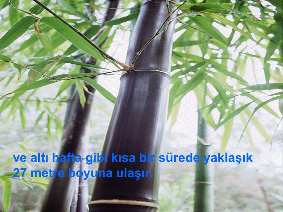 Çin bambu ağacı 27 metre boyuna altı hafta da mı Yoksa beş yılda mı ulaşmıştır.