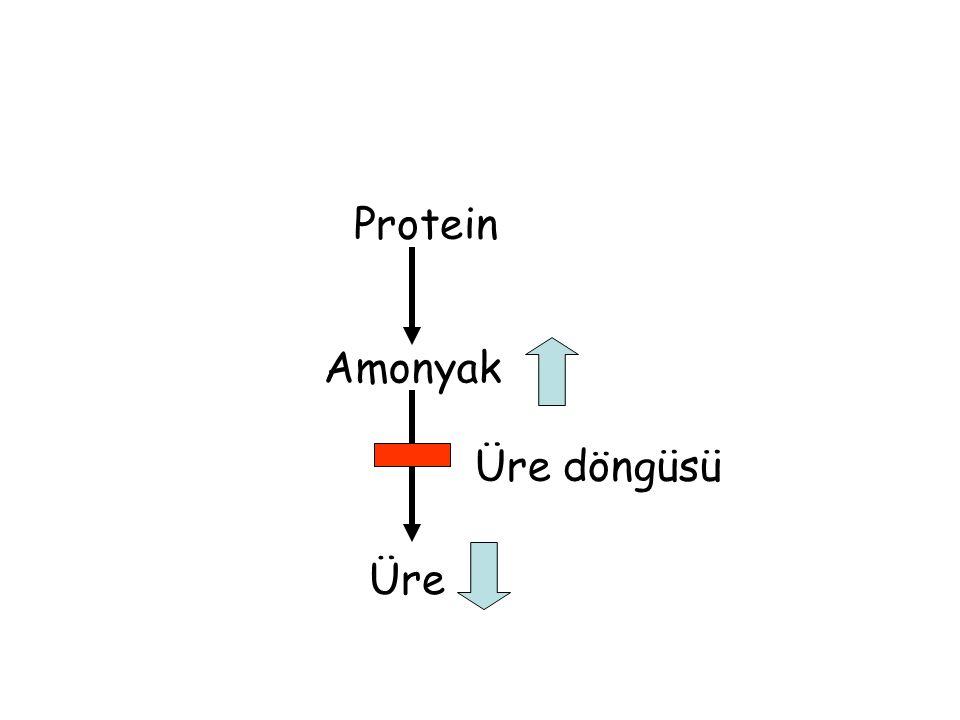 Protein Amonyak Üre Üre döngüsü