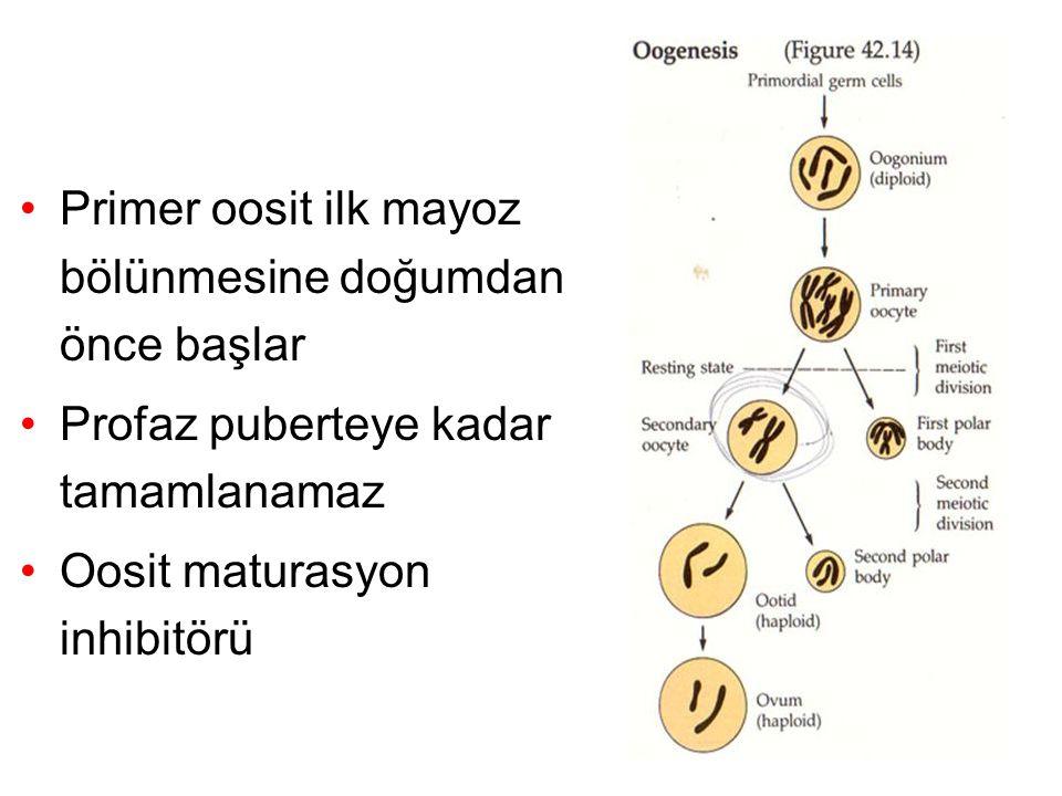 Primer oosit ilk mayoz bölünmesine doğumdan önce başlar Profaz puberteye kadar tamamlanamaz Oosit maturasyon inhibitörü