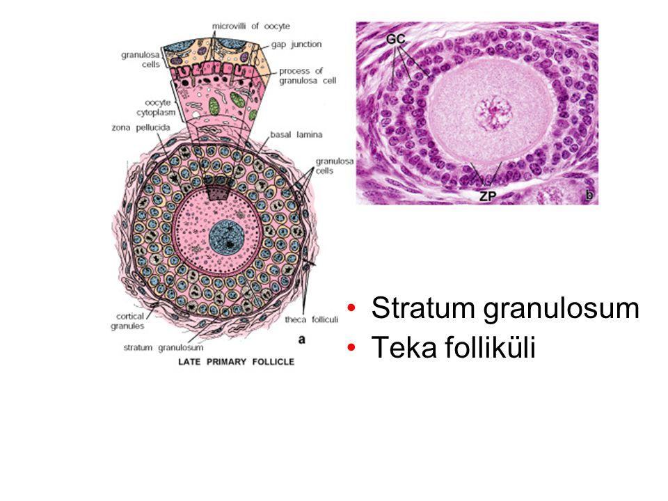 Stratum granulosum Teka folliküli