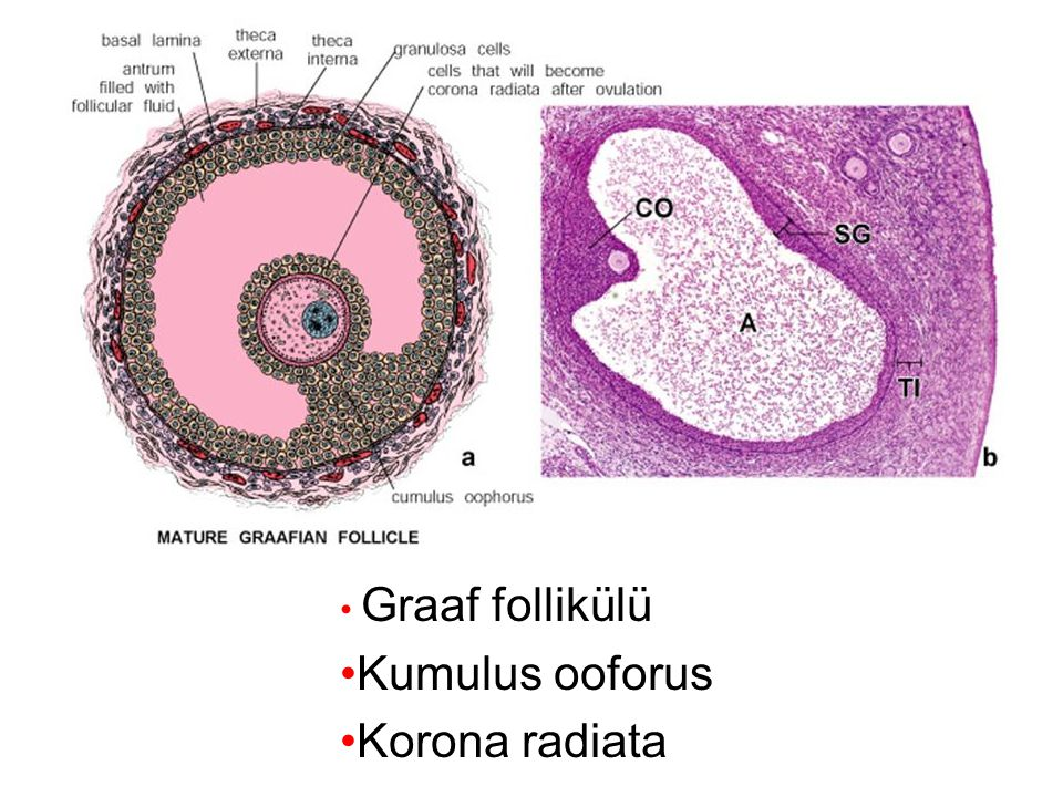 Graaf follikülü Kumulus ooforus Korona radiata