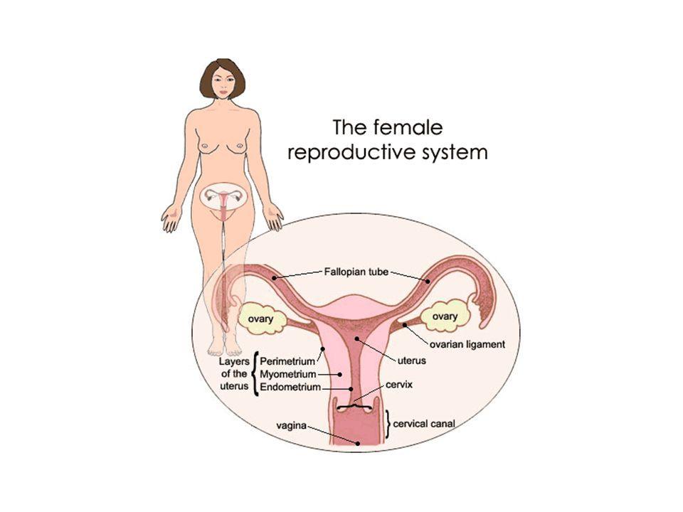 Endometriyal Siklus