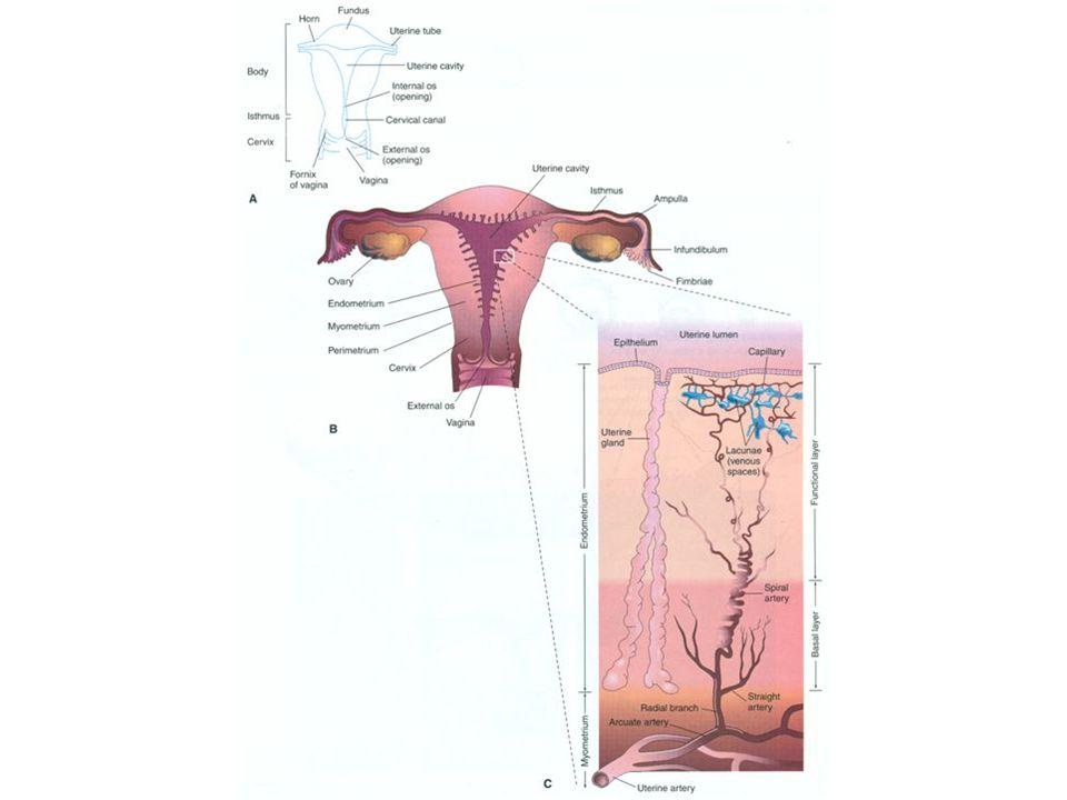 infundibulum istmusampullaintramural fimbrya OVARYUM TUBA UTERİNA