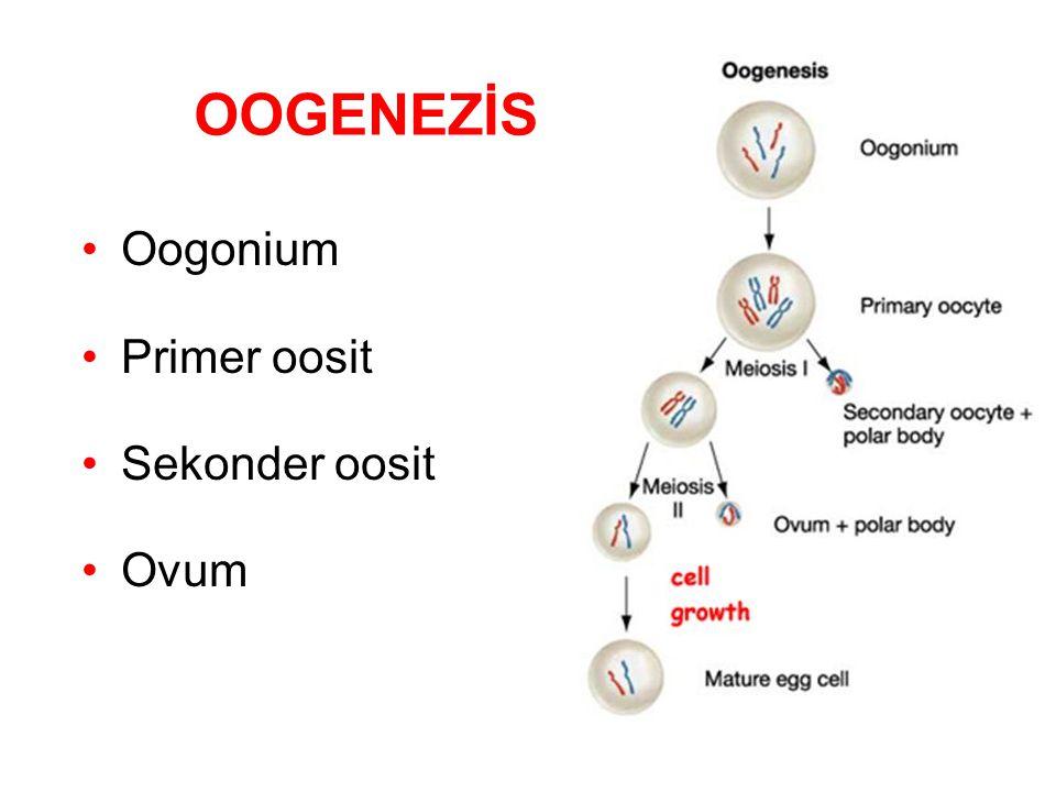 Doğumdan öncesi; Oogonium  Primer oosit Folliküler epitelyal hücreler Primordial follikül