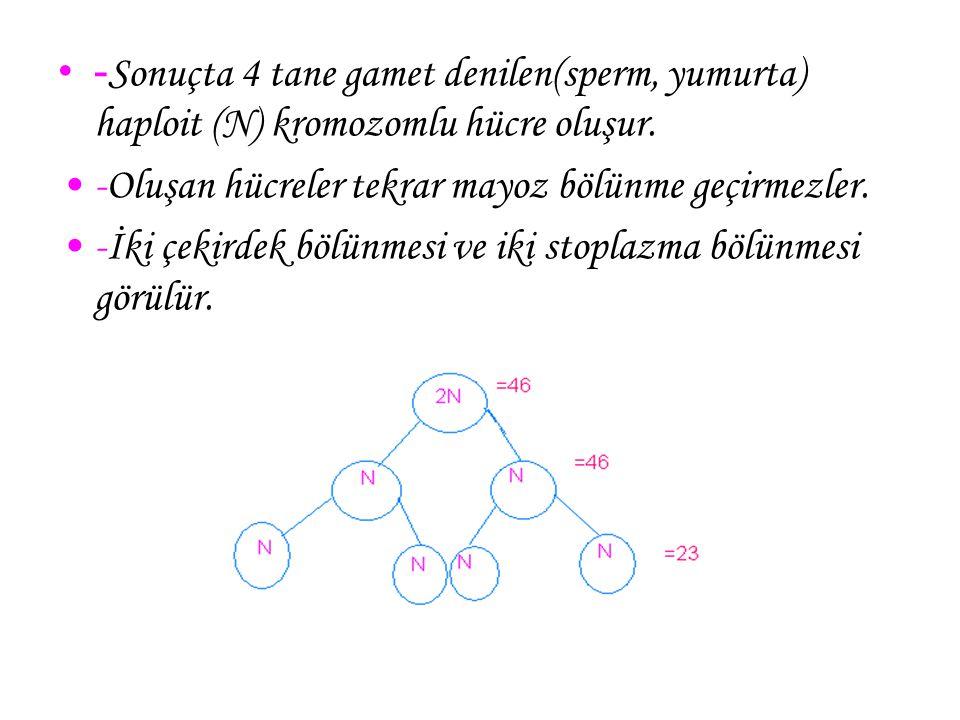 - Sonuçta 4 tane gamet denilen(sperm, yumurta) haploit (N) kromozomlu hücre oluşur. -Oluşan hücreler tekrar mayoz bölünme geçirmezler. -İki çekirdek b