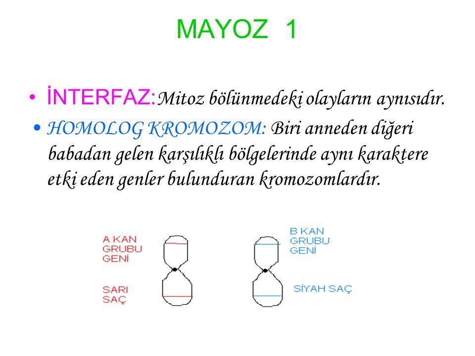 MAYOZ 1 İNTERFAZ: Mitoz bölünmedeki olayların aynısıdır. HOMOLOG KROMOZOM: Biri anneden diğeri babadan gelen karşılıklı bölgelerinde aynı karaktere et