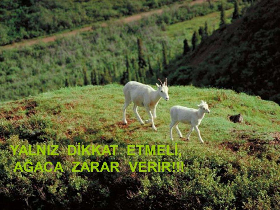 Kadiriye Özer YALNIZ DİKKAT ETMELİ, AĞACA ZARAR VERİR!!!