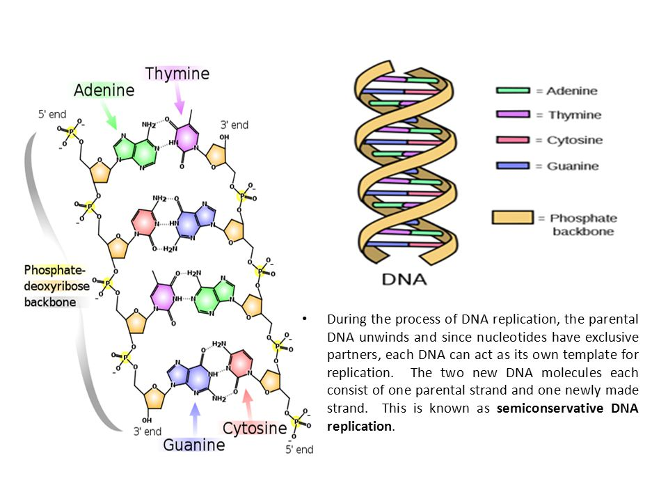 During the process of DNA replication, the parental DNA unwinds and since nucleotides have exclusive partners, each DNA can act as its own template fo
