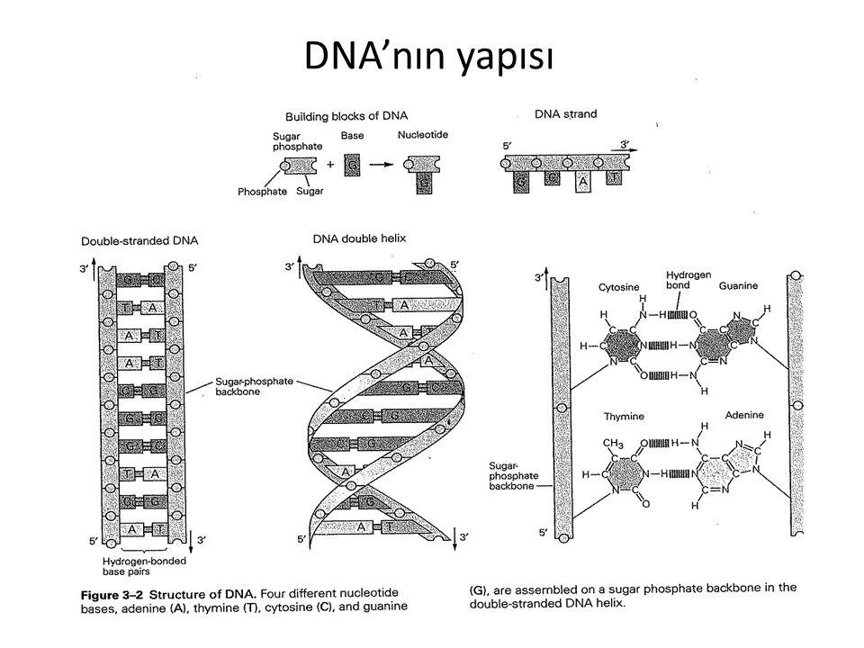 DNA'nın üç boyutlu yapısında çift heliksin ortak bir eksen etrafında birbirine antiparalel sarılmasıyla meydana gelir.