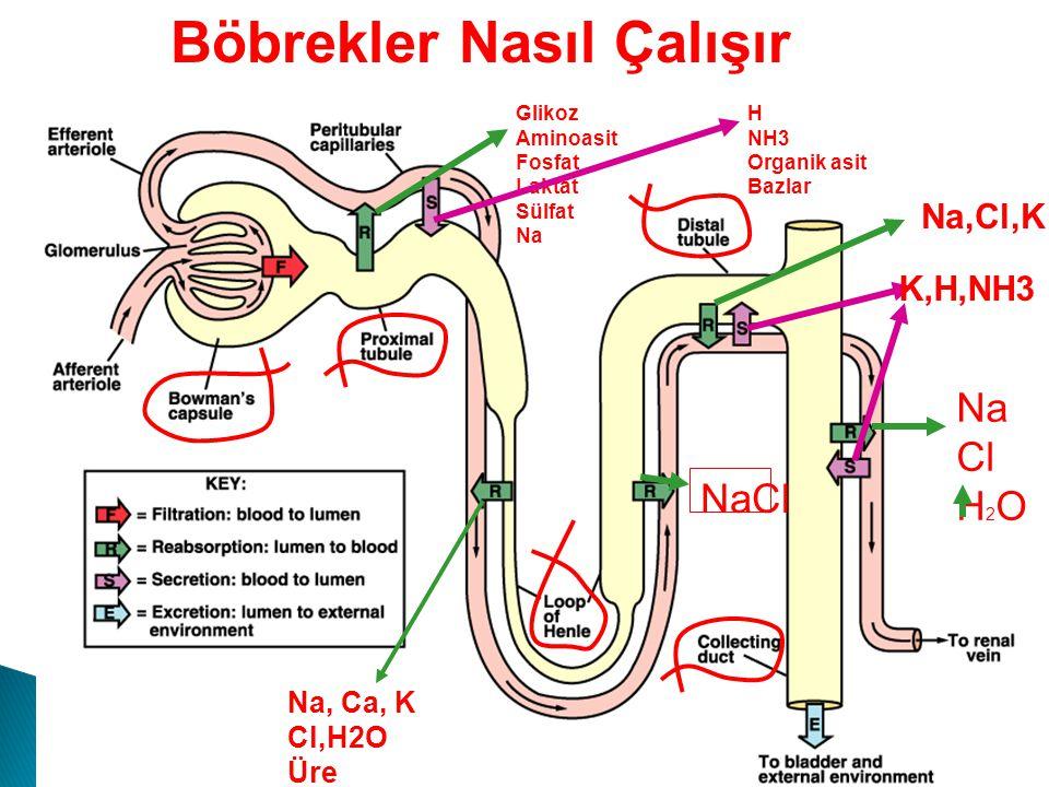 Böbrekler Nasıl Çalışır Glikoz Aminoasit Fosfat Laktat Sülfat Na H NH3 Organik asit Bazlar Na, Ca, K Cl,H2O Üre NaCl Na,Cl,K Na Cl H 2 O K,H,NH3 ADH