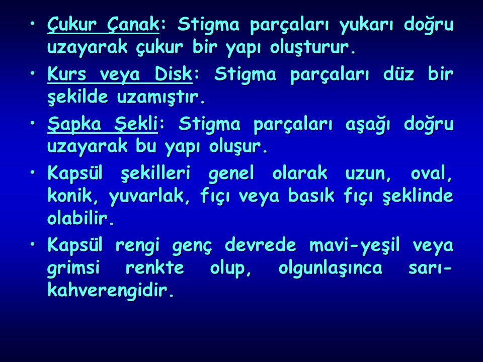 Çukur Çanak: Stigma parçaları yukarı doğru uzayarak çukur bir yapı oluşturur.Çukur Çanak: Stigma parçaları yukarı doğru uzayarak çukur bir yapı oluştu