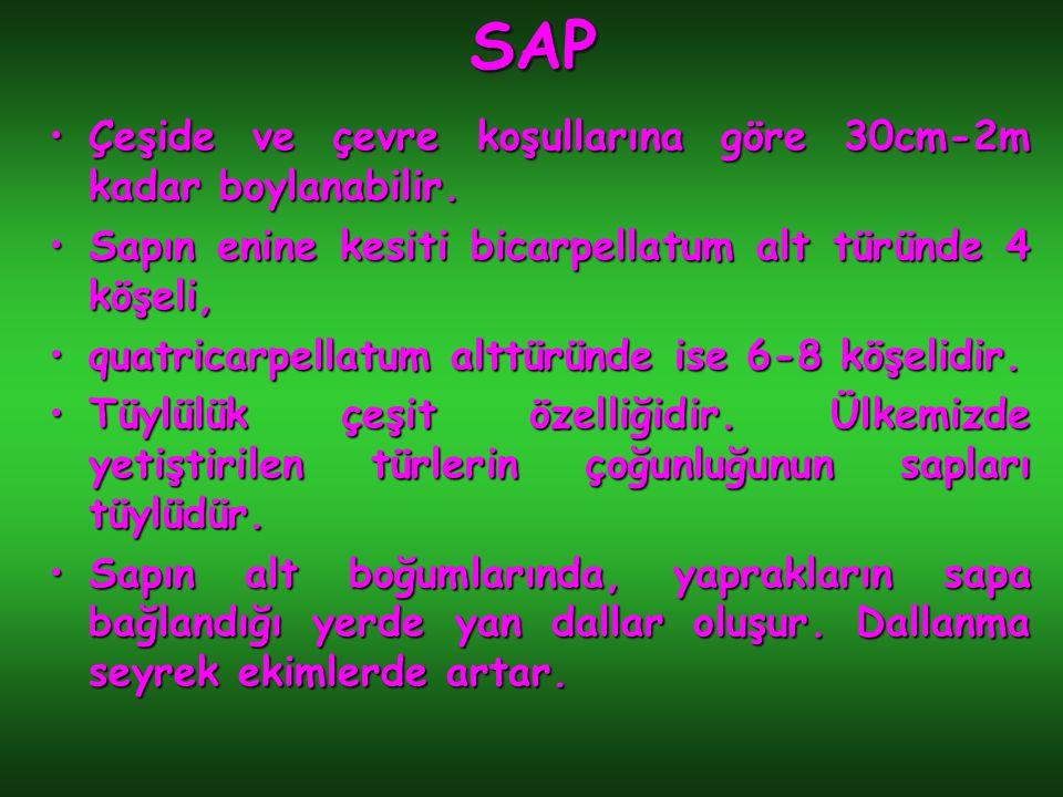 SAP Çeşide ve çevre koşullarına göre 30cm-2m kadar boylanabilir.Çeşide ve çevre koşullarına göre 30cm-2m kadar boylanabilir. Sapın enine kesiti bicarp