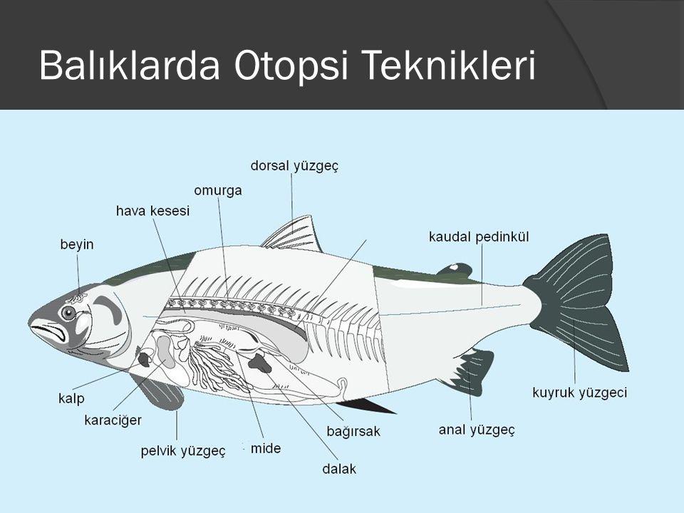 Balıklarda Otopsi Teknikleri