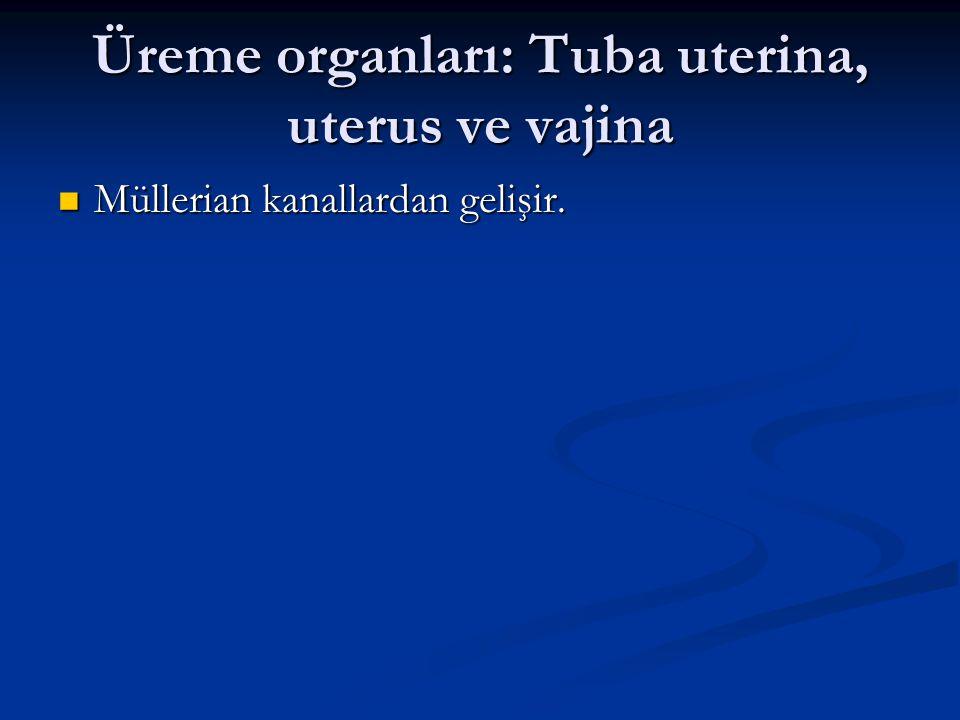 Üreme organları: Tuba uterina, uterus ve vajina Müllerian kanallardan gelişir. Müllerian kanallardan gelişir.