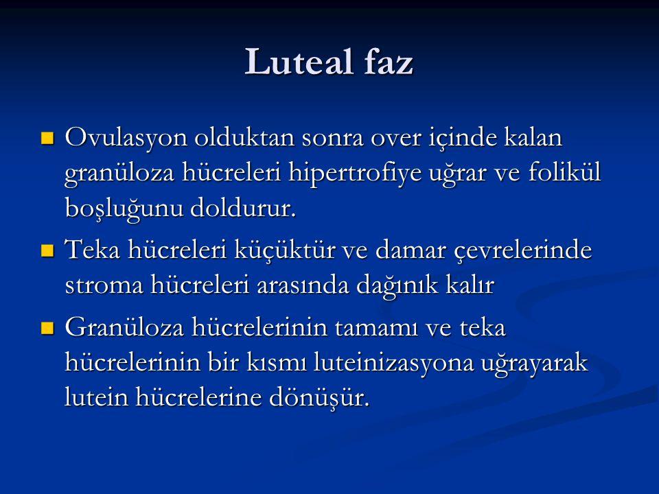 Luteal faz Ovulasyon olduktan sonra over içinde kalan granüloza hücreleri hipertrofiye uğrar ve folikül boşluğunu doldurur. Ovulasyon olduktan sonra o