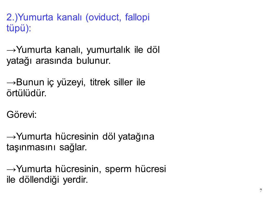 8 3.)Uterus (döl yatağı): →Yapısında gelişmiş düz kaslar bulunur.