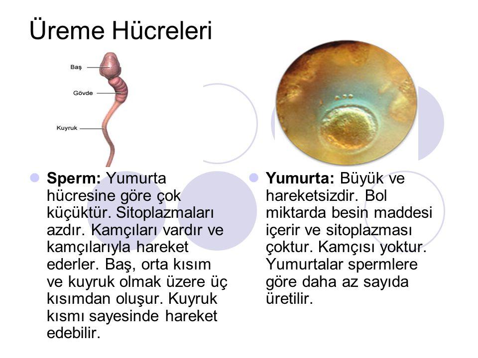 Sperm ve Yumurta hücrelerinin farkları Yumurta hücresiSperm hücresi BüyüktürKüçüktür Bol sitoplazmalıAz sitoplazmalı Kamçısı yokKamçılı hareketsizhareketli
