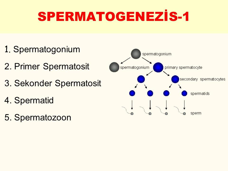 1. Spermatogonium 2. Primer Spermatosit 3. Sekonder Spermatosit 4. Spermatid 5. Spermatozoon SPERMATOGENEZİS-1