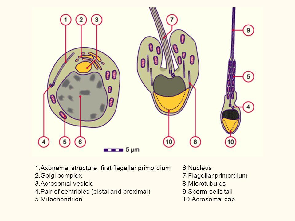 1.Axonemal structure, first flagellar primordium 2.Golgi complex 3.Acrosomal vesicle 4.Pair of centrioles (distal and proximal) 5.Mitochondrion 6.Nucl