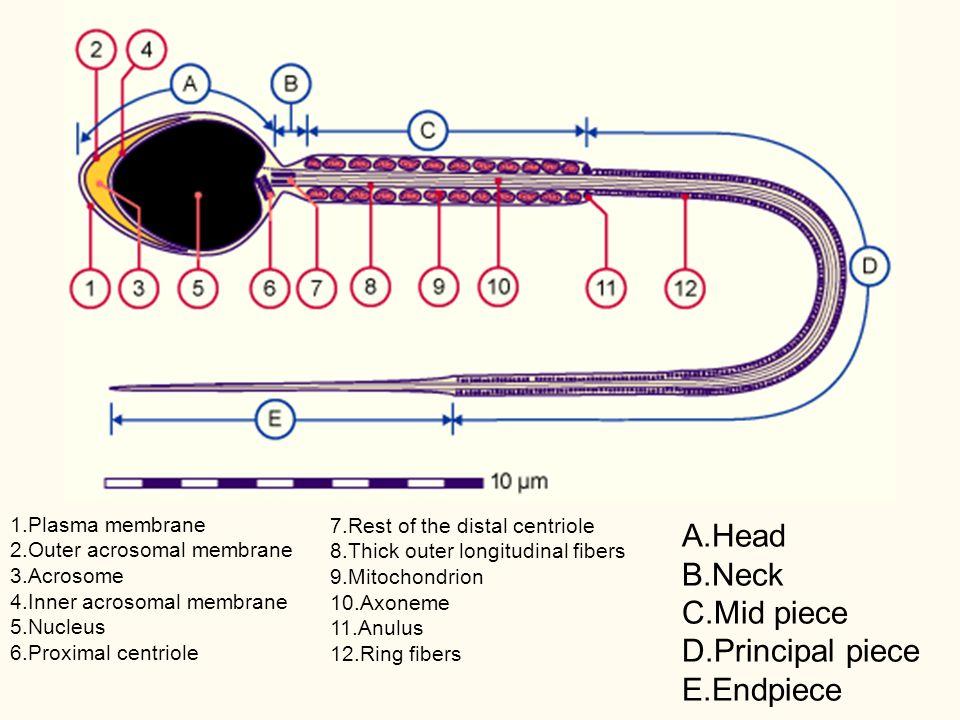 1.Plasma membrane 2.Outer acrosomal membrane 3.Acrosome 4.Inner acrosomal membrane 5.Nucleus 6.Proximal centriole 7.Rest of the distal centriole 8.Thi
