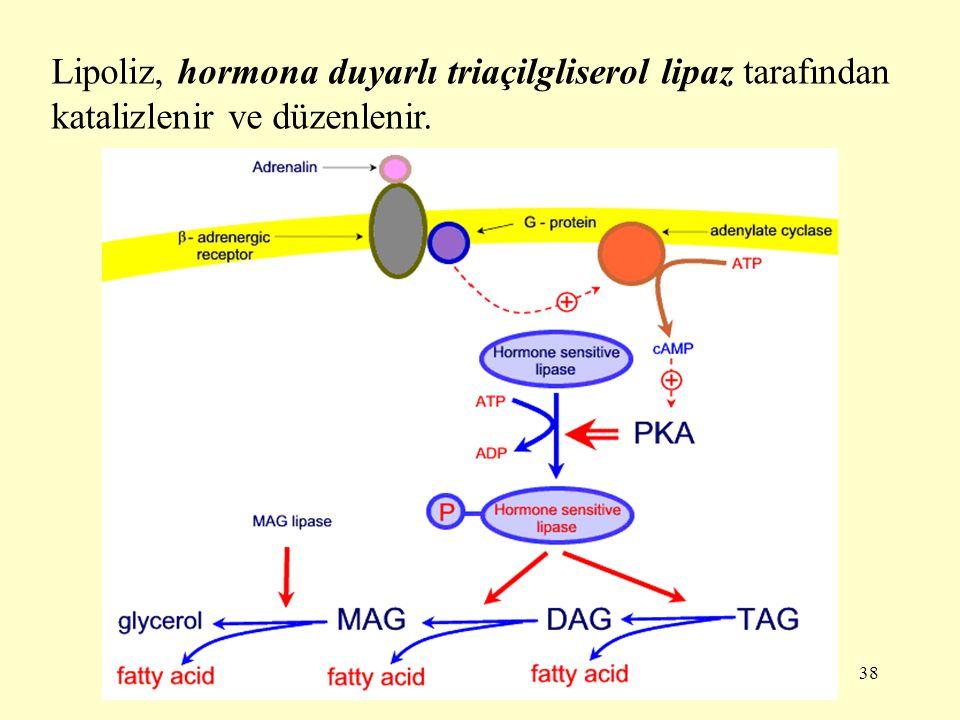 38 Lipoliz, hormona duyarlı triaçilgliserol lipaz tarafından katalizlenir ve düzenlenir.