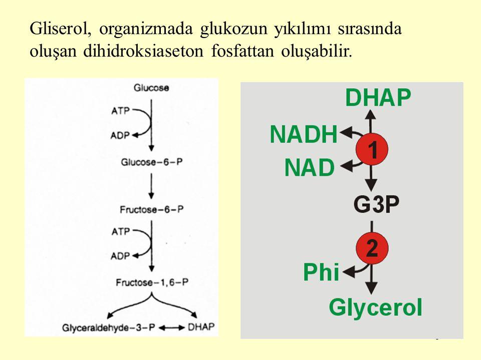5 Gliserol, organizmada glukozun yıkılımı sırasında oluşan dihidroksiaseton fosfattan oluşabilir.