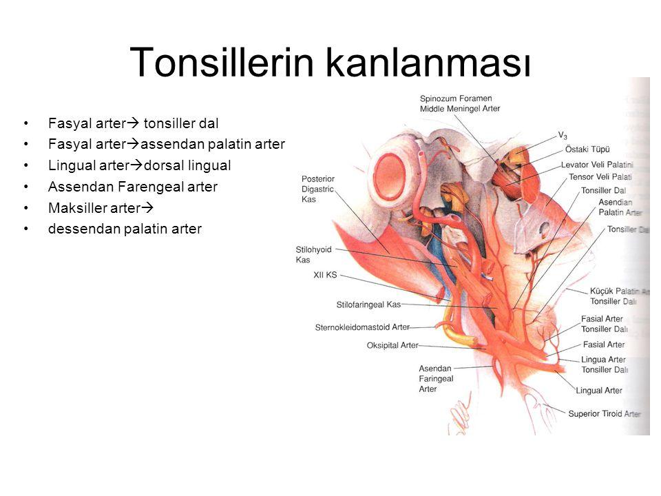 Tonsillerin kanlanması Fasyal arter  tonsiller dal Fasyal arter  assendan palatin arter Lingual arter  dorsal lingual Assendan Farengeal arter Maks
