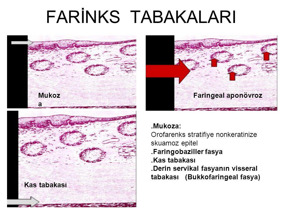 FARİNKS TABAKALARI.Mukoza: Orofarenks stratifiye nonkeratinize skuamoz epitel.Faringobaziller fasya.Kas tabakası.Derin servikal fasyanın visseral taba